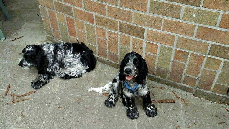 Nelson and Norah - blue roan - english cocker spaniels