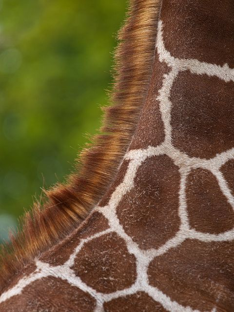 Giraffe Neck | Flickr - Photo Sharing!