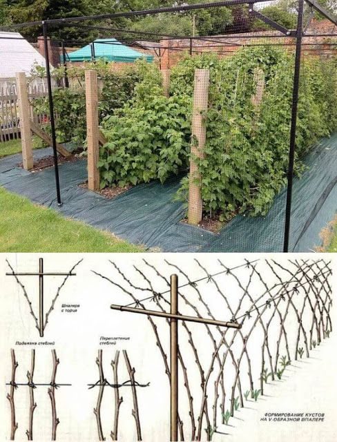 ВедаМост: Как получить небывалый урожай малины?