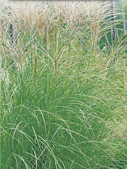 Miscanthus sinensis 'Kleine Silberspinne' - prachtriet - Siergrassen | Maréchal