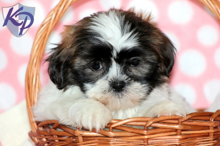 Shih Tzu Puppies For Sale In Pa