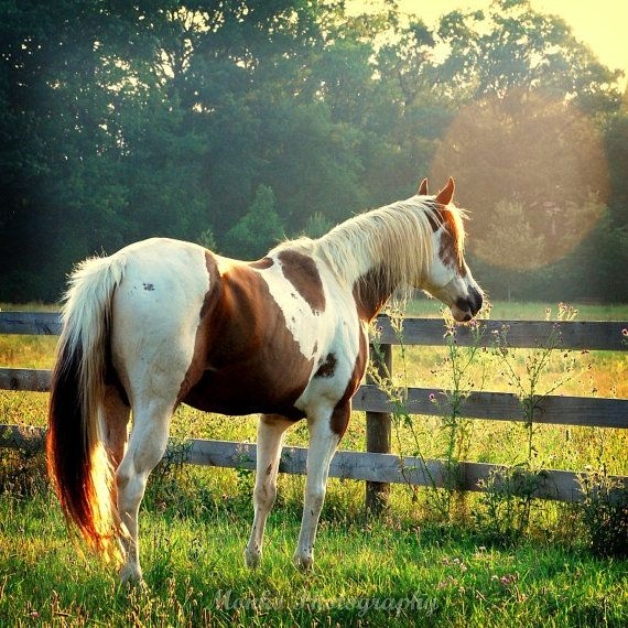 SALE 25 OFF Horse  Pinto Horse  Horse  by ara133photography, $7.50