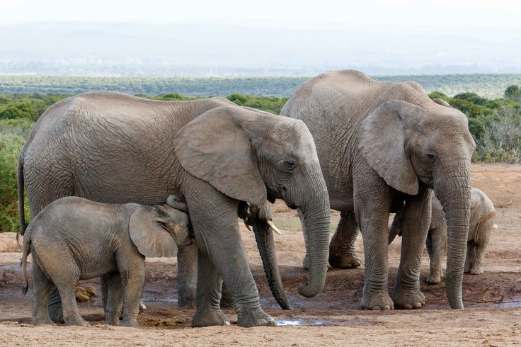 I need a drink MoM African Bush Elephants I need a drink MoM African Bush Elephants - The African bush elephant is the larger of the two species of African elephant. Both it and the African forest elephant have in the past been classified as a single species.