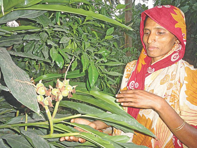TENDING CARDAMOM PLANT. For the first time in the region, a woman has successfully farmed  cardamom, a spice item, in her nursery at Fulgachh village in Lalmonirhat sadar upazila. Thanks to her, local farmers are encouraged to farm this item in their lands as a result.