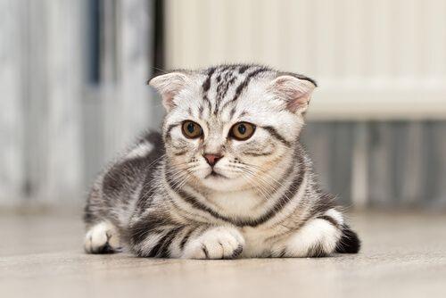 Síntomas que develan problemas de salud en un gato - Mis animales