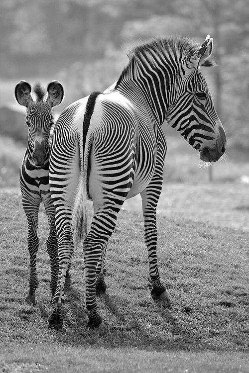 Mama Zebra and her foal~♛