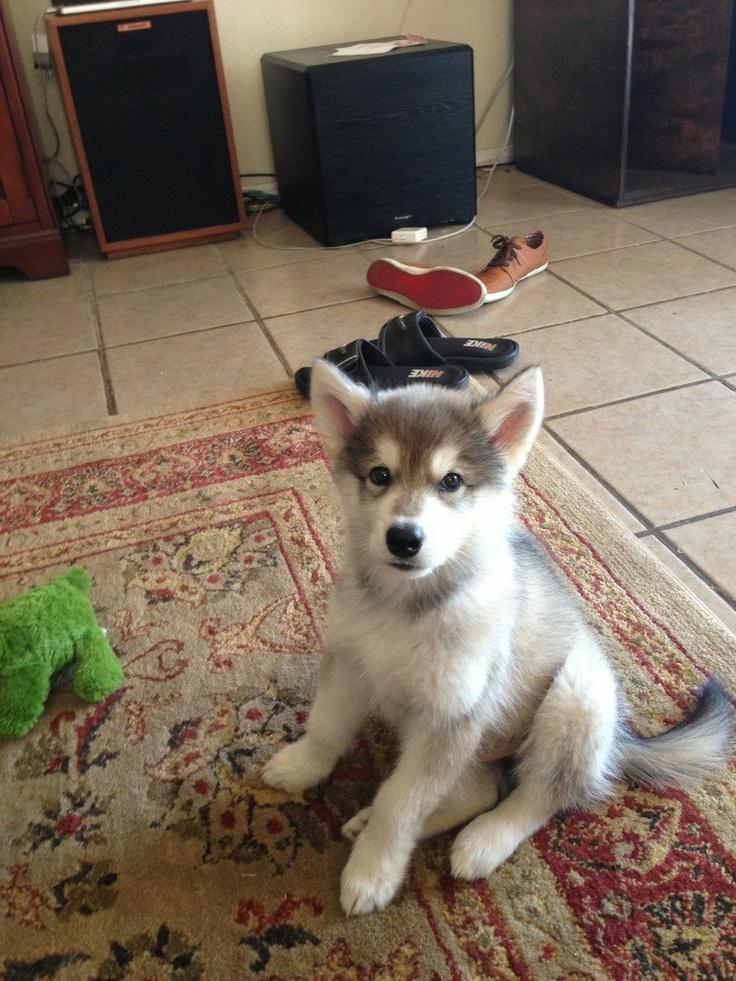 25+ best ideas about Husky wolf mix on Pinterest ...