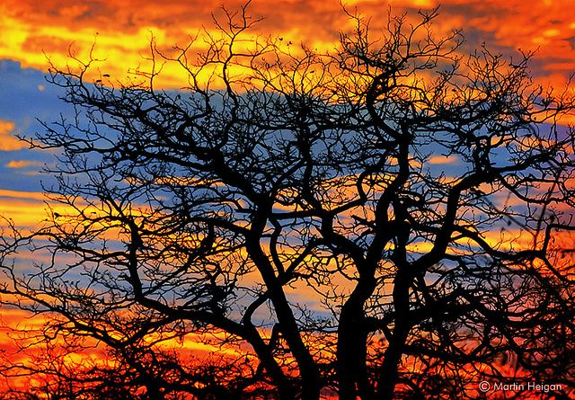 An African Bushveld sunset through the large trees of Mapungubwe National Park (Limpopo, South Africa).