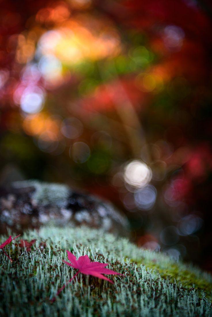 https://flic.kr/p/ZD8xBa | 龍福寺紅葉 #6ーAutumn leaves of Ryufuku-ji Temple #6 | 今シーズン初紅葉は山口市の龍福寺です。参道は県内では貴重な紅葉のトンネルを堪能できる場所です。まだピーク手前でしたが、十分綺麗でした。