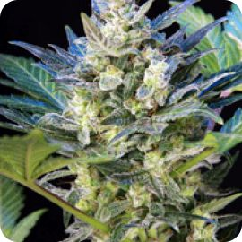 Diesel Ryder - strain - Joint Doctor Direct | Cannapedia