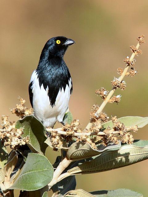 Foto tietinga (Cissopis leverianus) por Zé Maria | Wiki Aves - A Enciclopédia das Aves do Brasil
