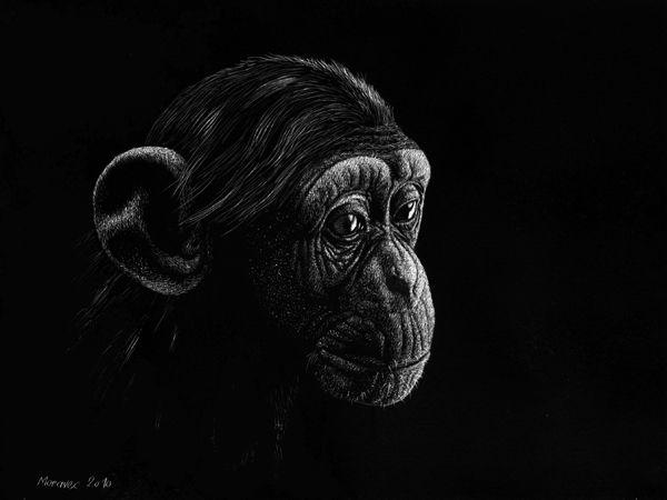 Young chimpanzee, scratchboard, 20 x 30 cm