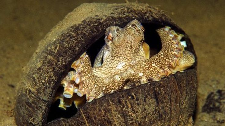 "The growing evidence for octopus intelligence. ""These rocks are enough."""