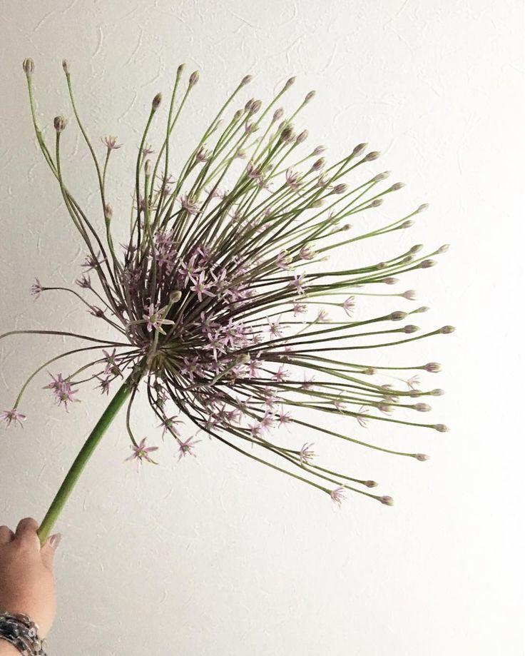 ☆ アリウム シュベルティ♡ ・  カッコカワイイ✨  会えるの待ってました☺️ ・ これからドライになってもいいお顔。 #シュベルティ #アリウム #アリウムシュベルティ #大きい #Allium  #beautiful #kfleurs さんにて #花 #flower #flowers #花が好き #花フレンド #花のある暮らし#flowerslovers #flowerstaglam #写真好き #iggood #花を愛でる #花が好きな人と繋がりたい #暮らしを楽しむ http://gelinshop.com/ipost/1517210428413055203/?code=BUONtibFBDj