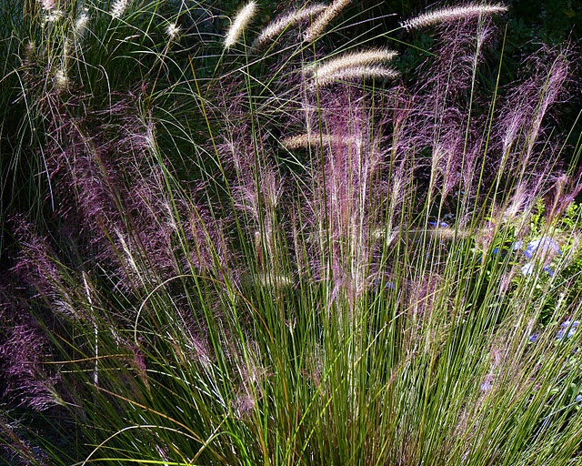 Muhly grass purple plumes turn to light brown this is for Ornamental grass with purple plumes
