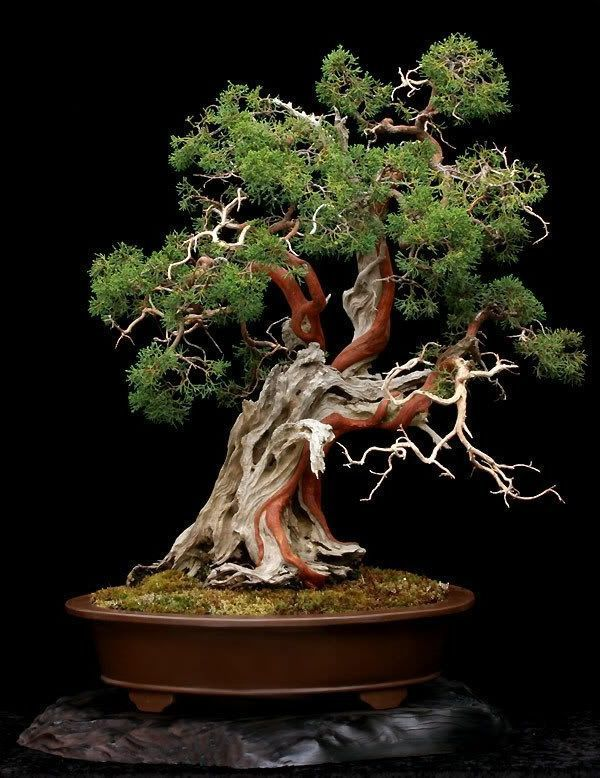 best 25 bonsai ideas on pinterest bonsai tree near me bonsai trees and bonsai garden. Black Bedroom Furniture Sets. Home Design Ideas