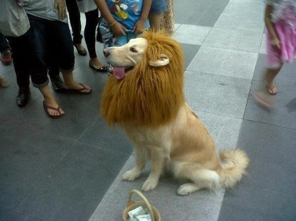 LionDog: Halloween Costume, Funnies Animal, Dogs Costume, Dresses Up, Golden Retrievers, Lion Costume, Lion King, Costume Idea, Trust Me