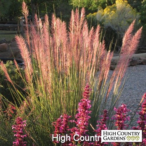 Muhlenbergia Pink Flamingo| Pink Flamingo Muhly Grass | Low Water Plants, Eco Friendly Landscapes | Perennials from High Country Gardens