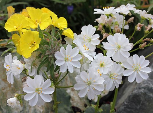 """Lewisia cotyledon 'White Splendor' Hardy CA & OR native with 1""""  white blooms in late Spring & with some water will repeat bloom several times during the Summer. To 5"""" tall & wide. Self-sows. Drought tolerant & very deer resistant. Sun Low Water  drought tolerant  Perennial USDA Zones 4-10"""