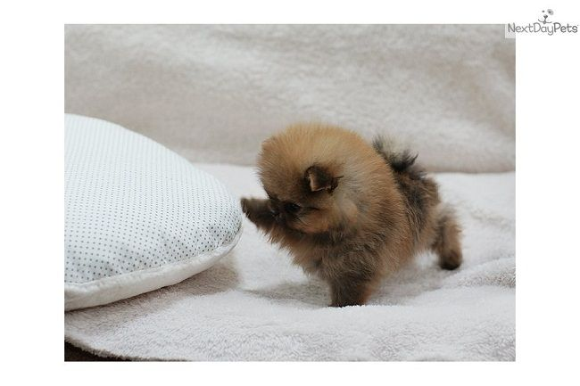 micro mini pomeranian puppies for sale | Zoe Fans Blog