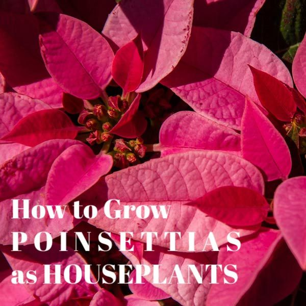 Poinsettia House Plant: How To Make Poinsettia Bloom (Care Tips)