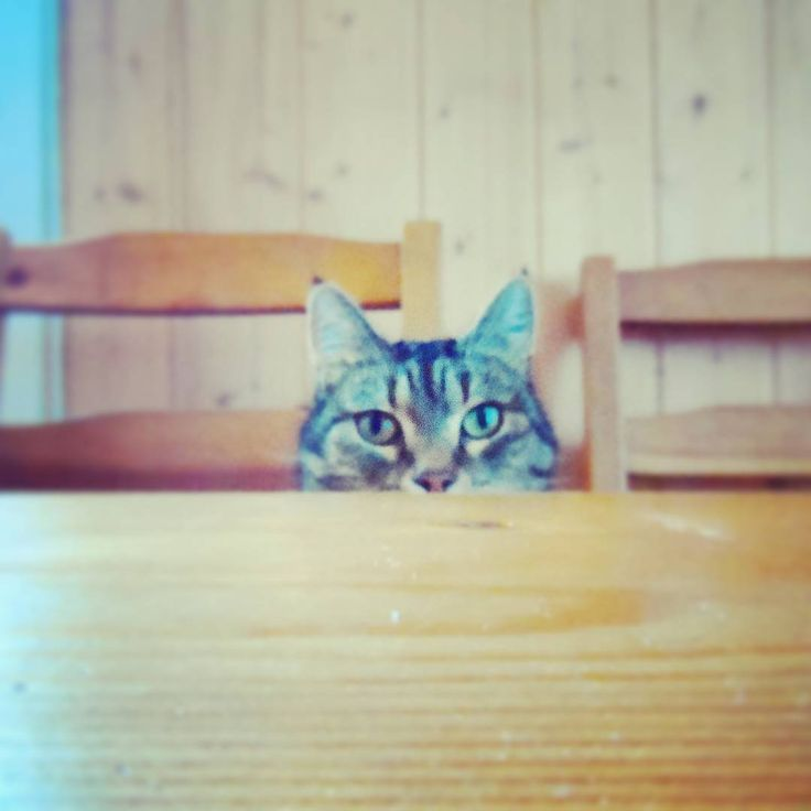 ...honestly, the service is so slow these days! 😸 #catproblems . .  #feedingtime #dinnertime #cat #catsofinstagram #mollycatfinland #catseyes #needtofattenup #slowservice #dining #instaphoto #instacat #catoftheday #hungergames #feedme #gato #katt #kissa #cats #catphoto #catlife #ilovemycat #catslife #hungrycat #instalike #table #tableservice #猫 #katzen #petcat