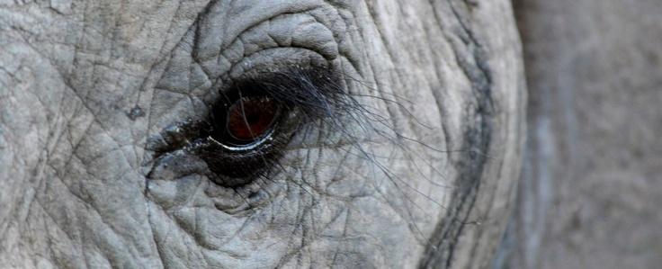 elephant eye - cheetah plains photographic safaris