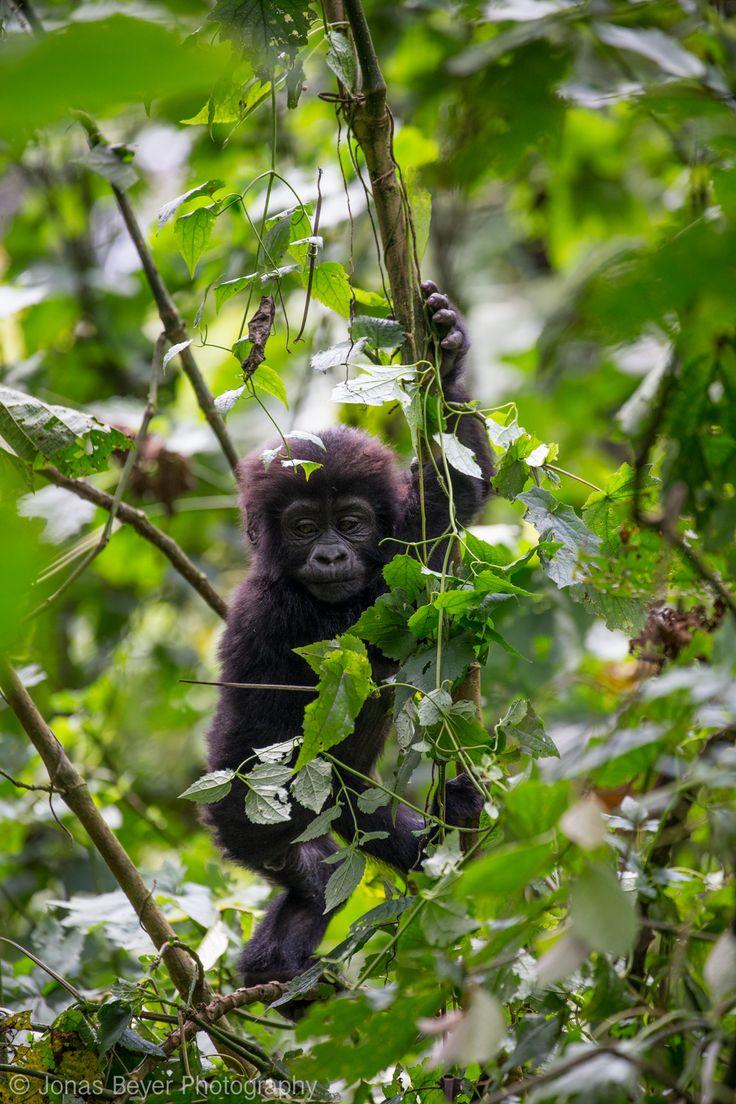 Mountain Gorillas in Bwindi, Uganda | Jonas Beyer Photography