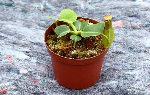 25 best plante carnivore carnivorous plants images on for Plante carnivore