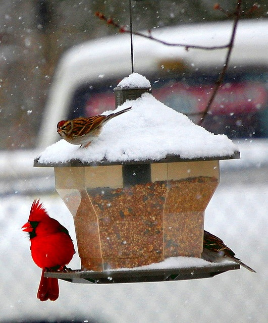 Cardinal & sparrow stopping by the bird feeder in the back yard