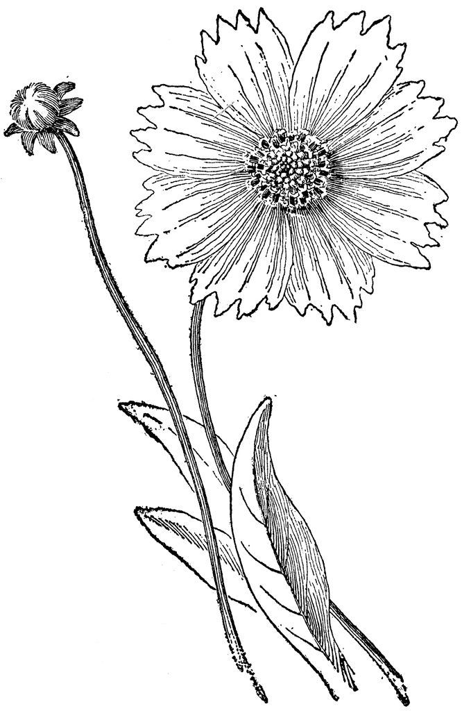 Coreopsis Drawing Google Search Drawings Ink Art