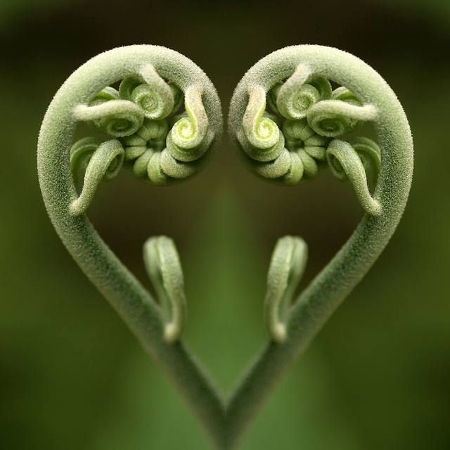 The spiraling of new unfurling silver fern fronds is known as Koru in the Māori culture