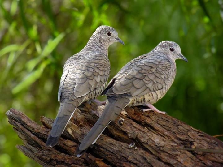 7 best My Backyard Birds in Phoenix images on Pinterest