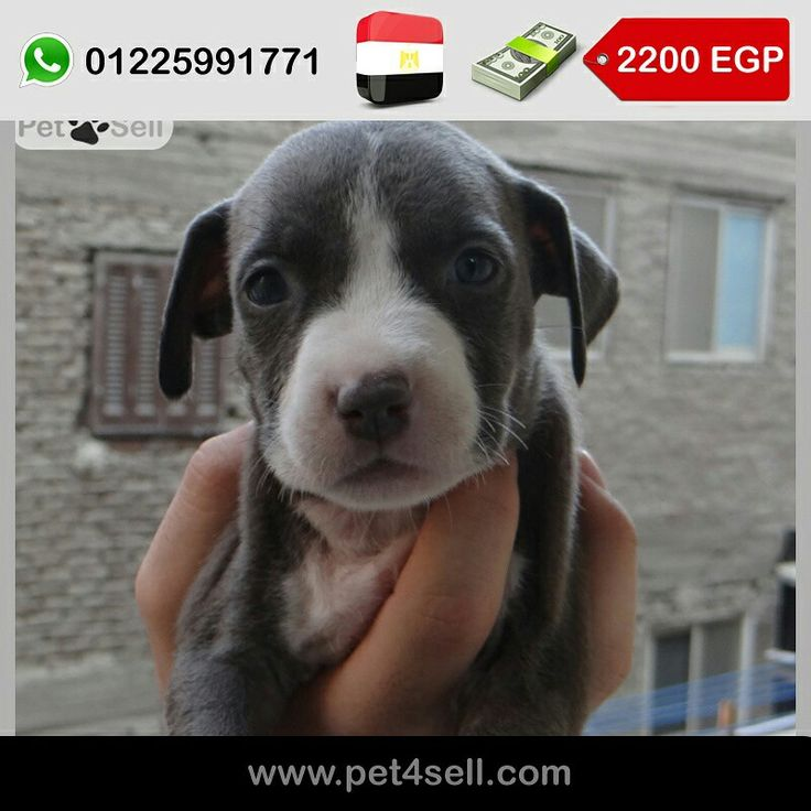 Egypt, Cairo  american pitbull for sale  Male and female  Blue eyes  50 days  For more information call 01225991771 #pet4sell