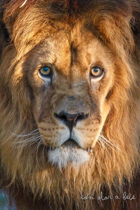 Alex es el pedazo león que reside en VigoZoo, Agosto'14
