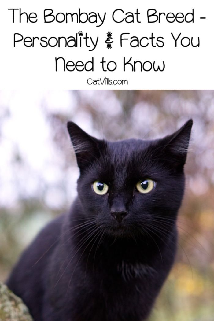 The Bombay Cat Personality Facts You Need To Know Catvills Cat Personalities Cat Breeds Black Cat Breeds