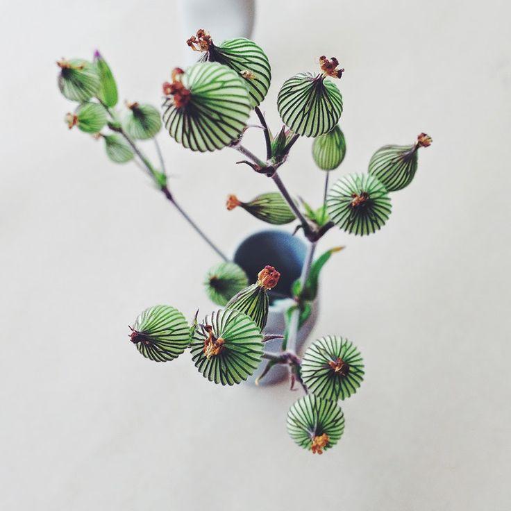 bleachedroses