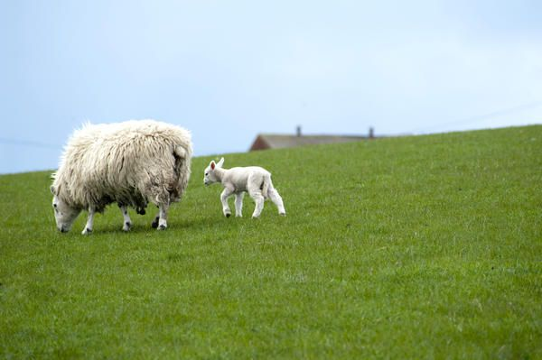 Love this image: Cute newborn little spring lamb and ewe grazing in a lush green grassy pasture - By stockarch.com user: easterstockphotos