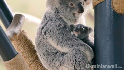 Невероятно трогательное видео малыша коалы стало хитом интернета http://ukrainianwall.com/ukraine/neveroyatno-trogatelnoe-video-malysha-koaly-stalo-xitom-interneta/  В интернете набирает популярность видео первой прогулки малыша коалы, которое выложили работники зоопарка Сан-Диего Хотя родился детеныш прошлой осенью, только сейчас впервые вылез из маминой сумки. Там малыши коалы обычно