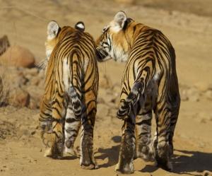 La tigre è minacciata dalla perdita del suo habitat naturale, eroso dalla crescita della popolazione, e dalla mancanza di prede: le stime attualmente ci sono non più di 3.200 esemplari di tigre che vivono in libertà. Eppure l'uccisione illegale e il commercio della tigre continua.