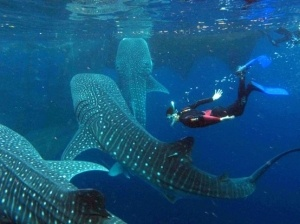 Nigaloo Reef swimming with the whale sharks in Western Australia.