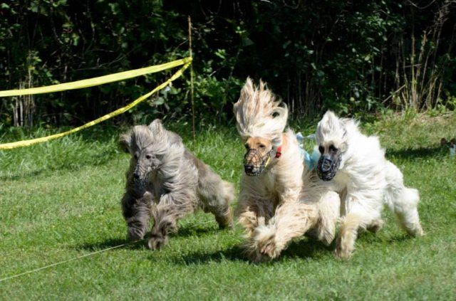 17 Best images about Afghan Hound on Pinterest Afghan Hound Lure Coursing