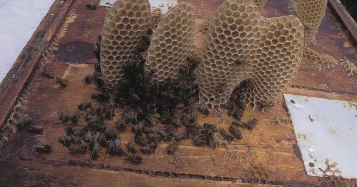 Como separar o mel da cera em banho-maria. Os favos de mel são fonte de dois produtos naturais utilizados pelo homem: mel e cera de abelha. Esses itens são encontrados juntos no favo. A cera de abelha é utilizada como cola para prender a armação das colmeias em conjunto, enquanto o mel proporciona a comida. Para usar qualquer produto, é necessário separá-los. Com operações em pequenas ...