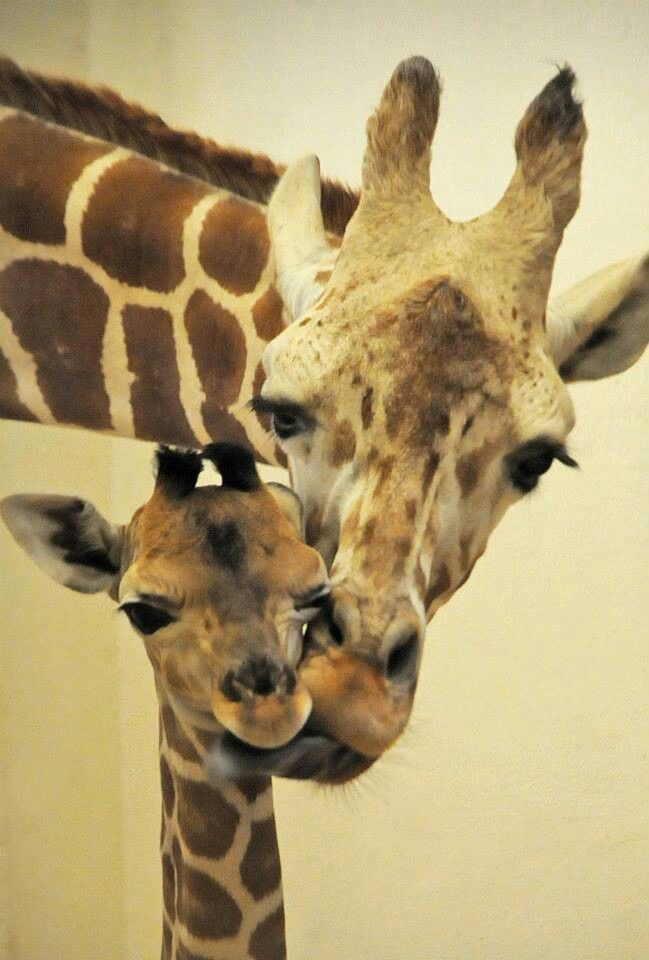 """Baby Giraffe having a sponge-tongue bath...""""Aww mom, not so rough! I'm ticklish!"""" Please like and comment if you're ticklish too under the chin, lol..."""