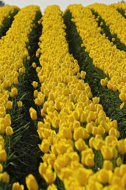 Tulip Rows by mstoy, via Flickr