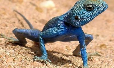 Reptile Agama, Sinaita Lizard (click to view)