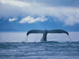 Go whale watching... Check ( Alaska2012)