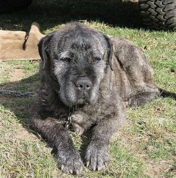 Pic Of Great Dane Irish Wolfhound Mix Google Search