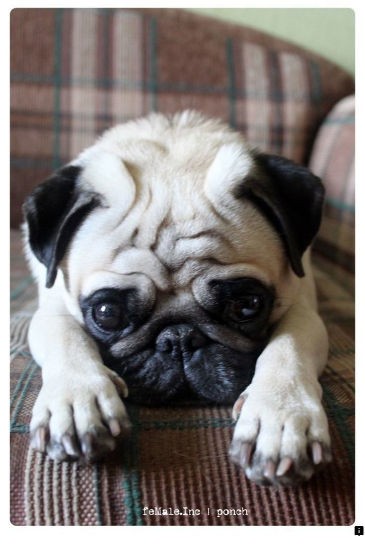 Find Out About Pug Rescue Near Me Simply Click Here To Get More