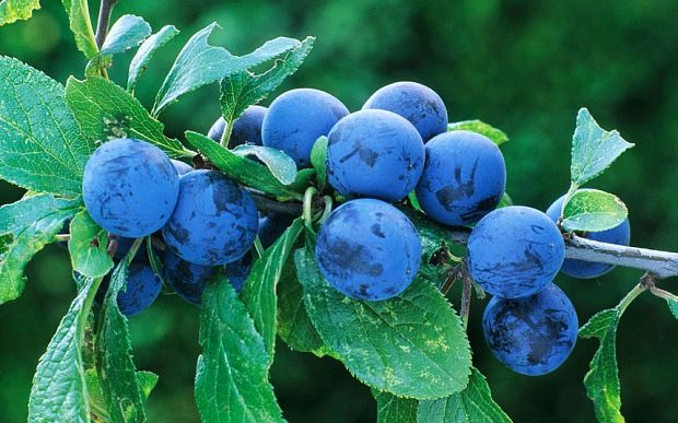 Sloe berries are appearing early this year